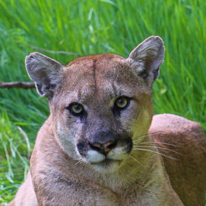KCET | Shooting L.A.'s Mountain Lions Won't Protect Livestock. Being More Responsible Will.
