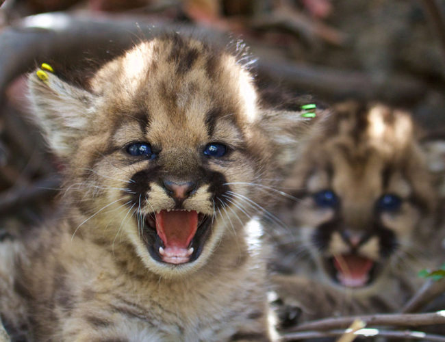 4 mountain lion kittens found in California