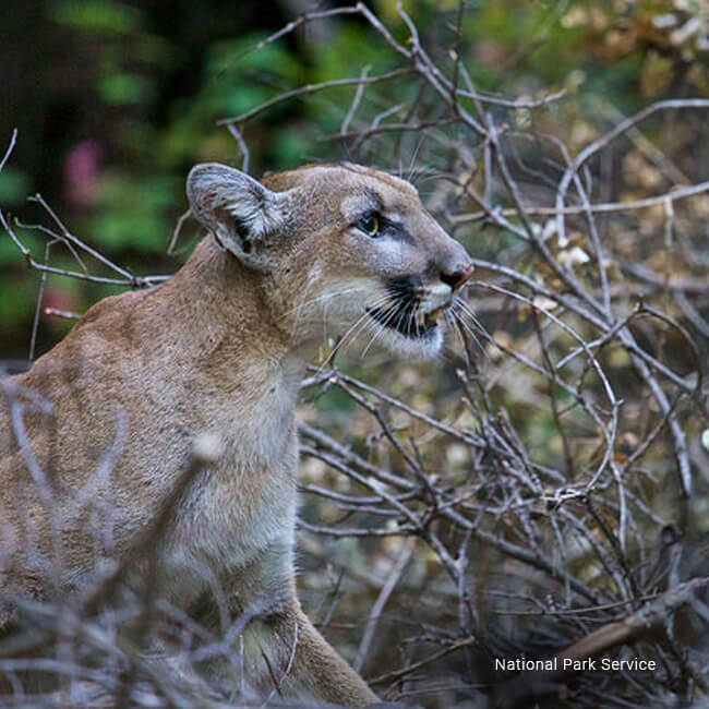 Hollywood Animals Trained Panthers For Film Tv Events: Save LA Cougars