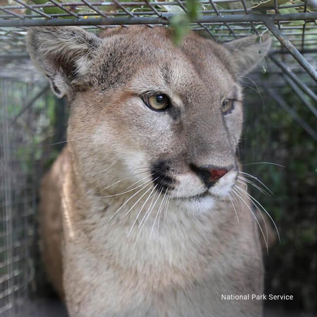 cougar internet service