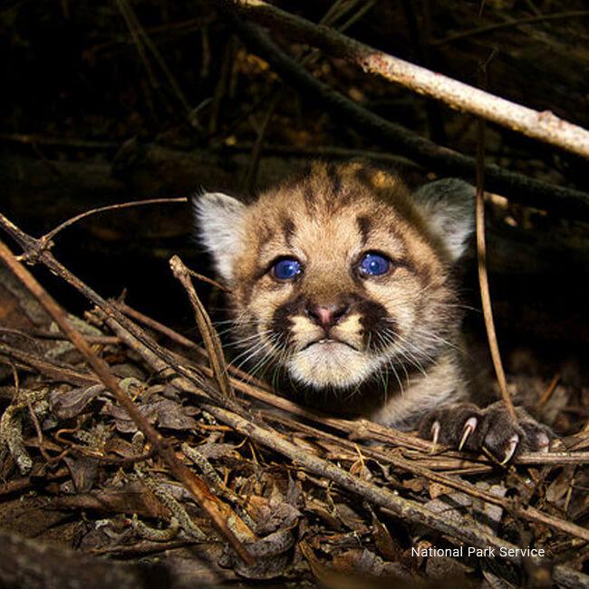 Home save la cougars cougar gallery spiritdancerdesigns Choice Image