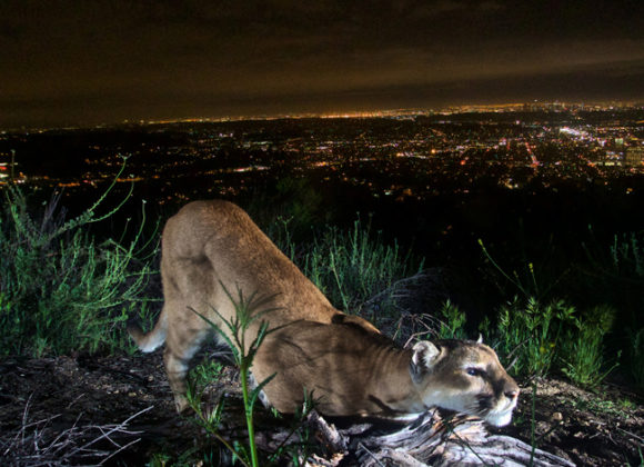 ABC 7 | Wildlife crossing over the 101 to save mountain lions getting closer to reality