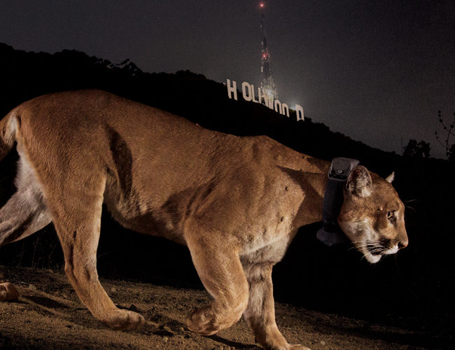 The Guardian | Can there be a Hollywood ending for the 'Brad Pitt of mountain lions'?
