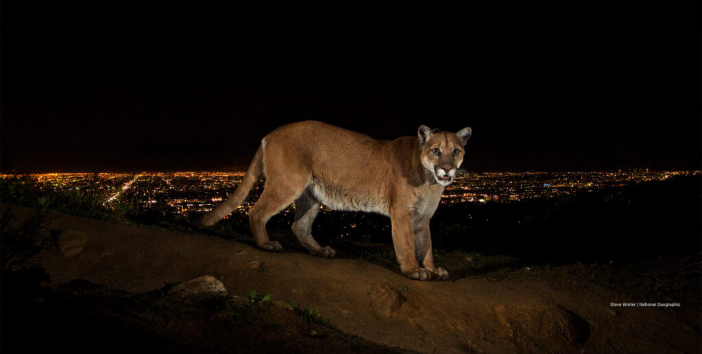 Is cougar life safe