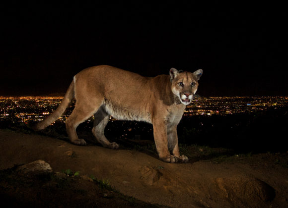 SCPR | Can Following a Famous Cougar's Journey Help Save Urban Wildlife?