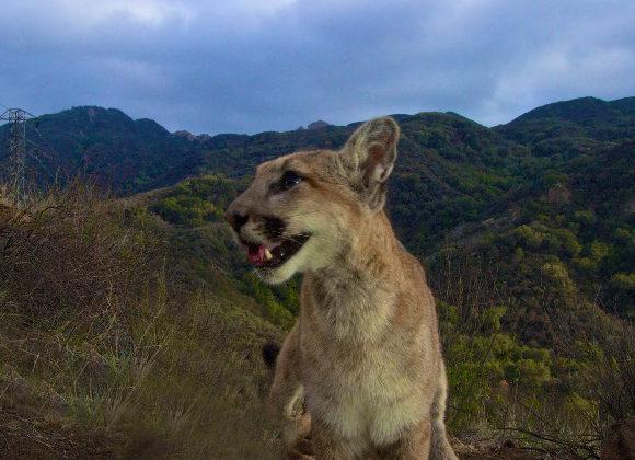 DW | LA Lions to Roam Over Freeway