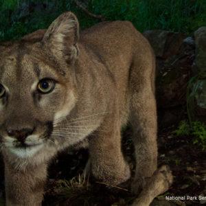 Naturalist finds lions in LA city parks