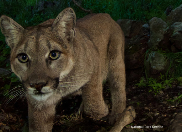 Naturalist finds lions in LA city parks