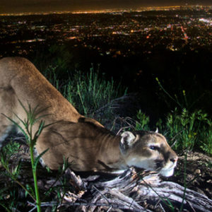 Los Angeles Magazine | The Cougar Bridge Across the 101 Will Be an Epic Feat of Fundraising