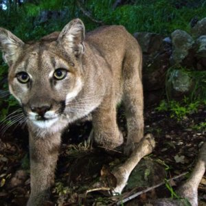 LA Times | California's mighty predator — the mountain lion — faces 'extinction vortex'