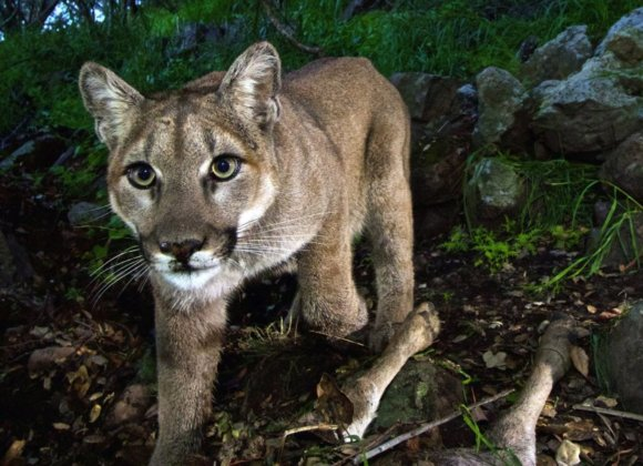 California's mighty predator — the mountain lion — faces 'extinction vortex'