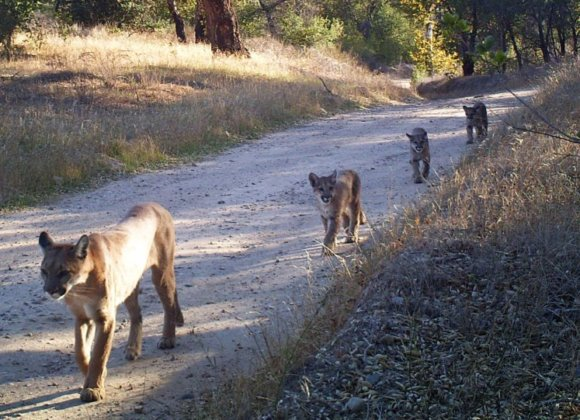 As Southern California cougars near 'extinction vortex,' a radical rescue plan emerges