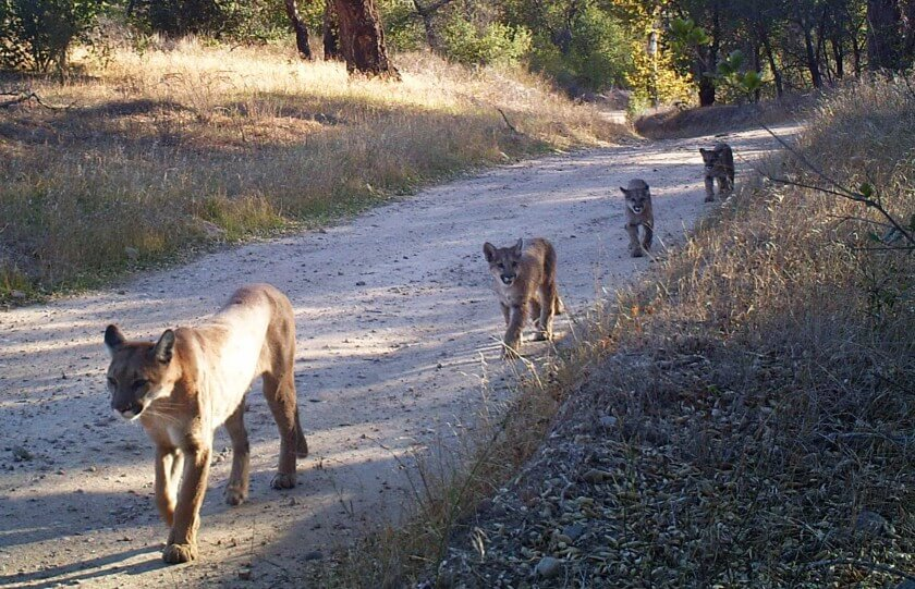 LA Times | As Southern California cougars near 'extinction vortex,' a radical rescue plan emerges