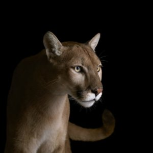 In the Wake of the Wildfires, Mountain Lions Have Found Themselves in a Transformed World