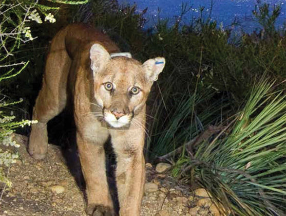 The Malibu Times   Local Couple Puts Up a Matching Gift Challenge to Help Build 101 Wildlife Crossing