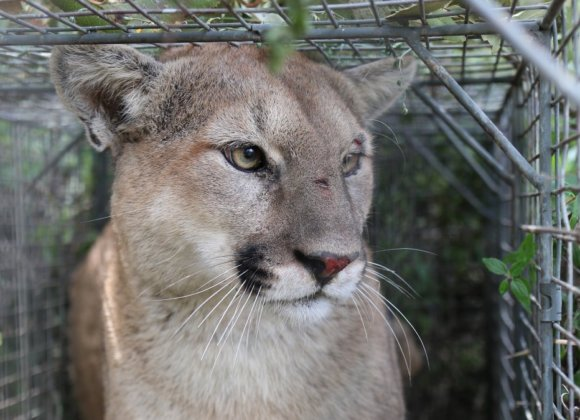 Outside   Why the Death of Mountain Lion P-56 Matters