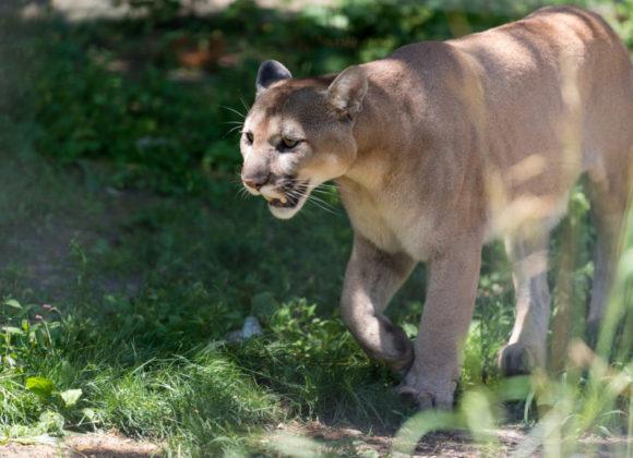 "Backpacker | No, That Mountain Lion Wasn't ""Stalking"" a Runner"
