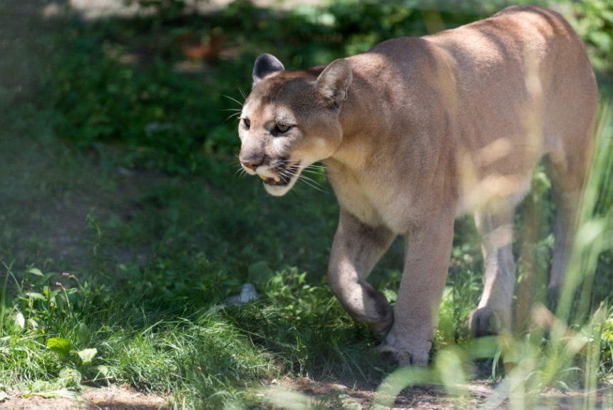 "Backpacker | No, That Mountain Lion Wasn't ""Stalking"" a Runner"